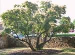 آشنایی با درخت پر + عکس